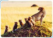 КЕНИЯ. Сафари-тур САФАРИ КИЛИМАНДЖАРО: Найроби - Амбосели - Найваша - Масаи Мара - Момбаса 11 дней / 10 ночей