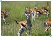 КЕНИЯ. Сафари-тур САФАРИ КИЛИМАНДЖАРО ДОГО: Найроби - Амбосели - Найваша - Масаи Мара. 6 дней / 5 ночей