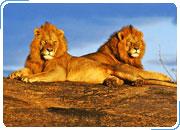 КЕНИЯ. Сафари-тур САФАРИ НЬЯТИ ДОГО: Найроби - Абердаре - Накуру - Масаи Мара. 6 дней / 5 ночей
