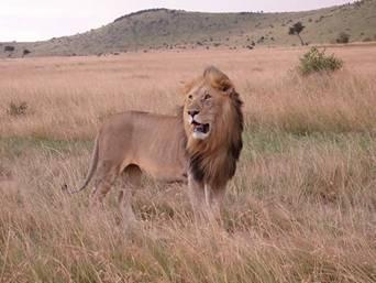 http://dhowandjeep.ru/assets/images/national_parks/800px-Lion_in_masai_mara.jpg